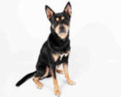 Adopt MEXICO a Black - with Tan, Yellow or Fawn German Shepherd Dog / Mixed dog
