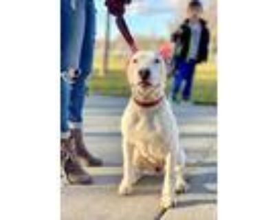 Adopt Mazikeen a White - with Brown or Chocolate Bull Terrier / Mixed dog in