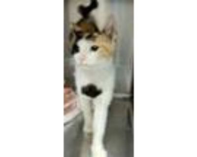 Adopt Kelsey a All Black Domestic Shorthair / Domestic Shorthair / Mixed cat in