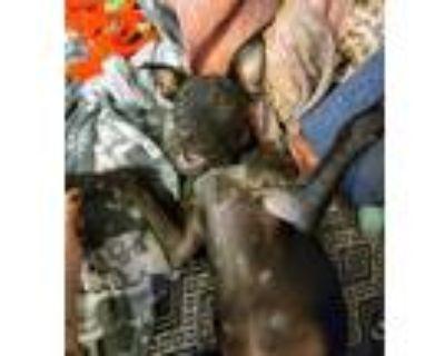 Adopt Alexis Rose a Australian Cattle Dog / Blue Heeler