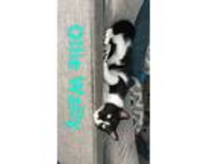 Olllie, Domestic Shorthair For Adoption In Los Angeles, California