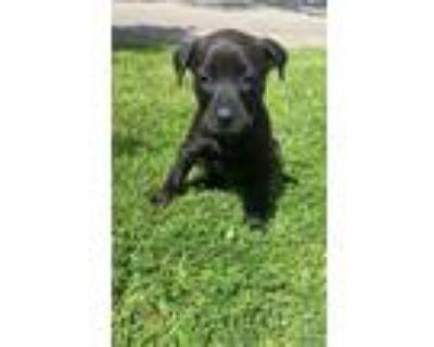 Adopt Shenzi a Black Weimaraner / Labrador Retriever / Mixed dog in Denver