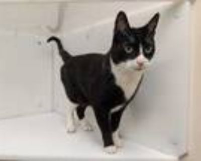 Adopt Kit a All Black Domestic Shorthair / Mixed cat in Boulder, CO (32097853)