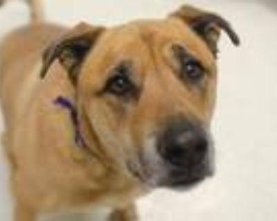 Adopt BRUNO a Tan/Yellow/Fawn Anatolian Shepherd / Mixed dog in Denver