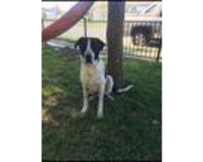 Adopt Rex a Black - with White Great Pyrenees / Bernese Mountain Dog / Mixed dog
