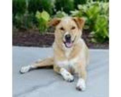 Adopt Rolly a Tan/Yellow/Fawn Labrador Retriever / Mixed dog in Merriam