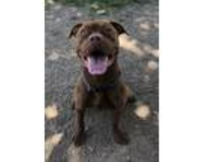Adopt Coffee a Pit Bull Terrier