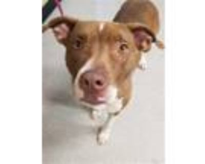 Adopt PHYLISS a Tan/Yellow/Fawn - with White American Pit Bull Terrier / Mixed
