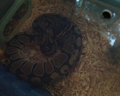 Baby Ball python