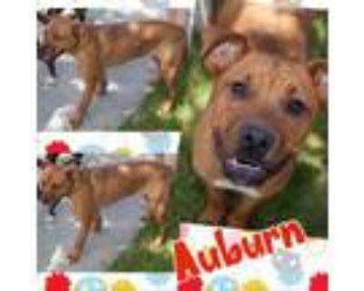 Adopt Auburn a Rhodesian Ridgeback / Mixed dog in El Dorado, KS (32557316)