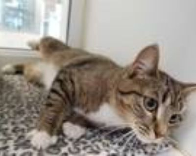 Adopt CINDY a Brown Tabby Domestic Shorthair / Mixed (short coat) cat in