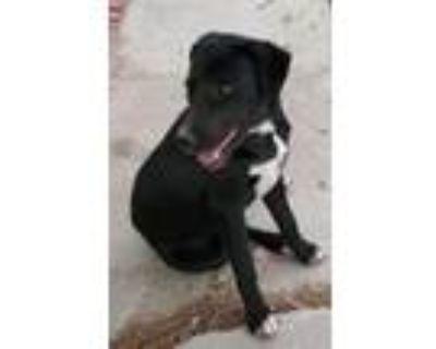 Adopt 47916706 a Tan/Yellow/Fawn Labrador Retriever / Mixed dog in El Paso