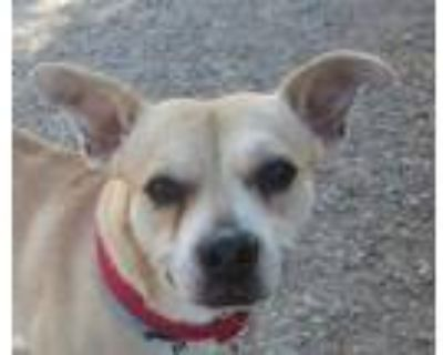 Adopt Kona a Tan/Yellow/Fawn Terrier (Unknown Type, Small) / Mixed dog in