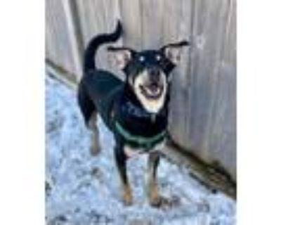 Adopt Odin a Australian Shepherd, Beagle