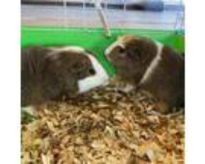 Adopt Ed (and Eddy) a Guinea Pig