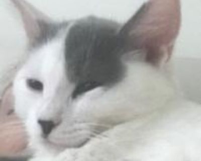 Thomas - Domestic Longhair - Kitten Male