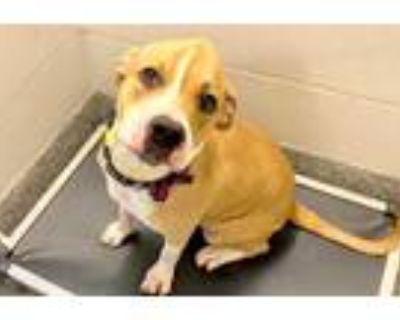 Adopt a Tan/Yellow/Fawn - with White Labrador Retriever / Mixed dog in Houston