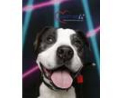 Adopt Mickey a Pit Bull Terrier