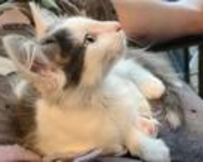 Adopt Alex Catskarth a White (Mostly) Domestic Mediumhair / Mixed cat in