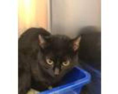 Adopt Pop Tart a Domestic Shorthair / Mixed cat in Golden, CO (32106309)