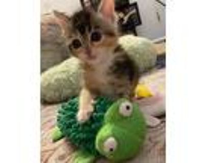 Rosie, Domestic Shorthair For Adoption In Los Angeles, California