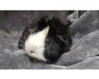 Adopt ELROY a Black Guinea Pig / Mixed small animal in Los Angeles