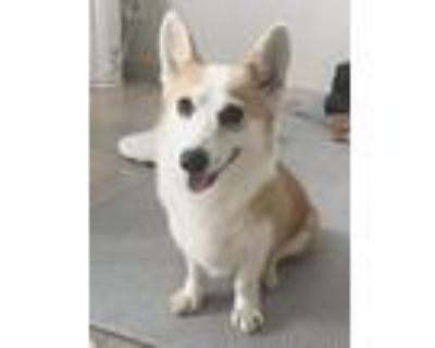 Adopt Moira a White - with Red, Golden, Orange or Chestnut Welsh Corgi / Mixed