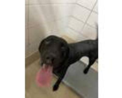 Adopt 48341494 a Black Labrador Retriever / Mixed dog in Fort Worth