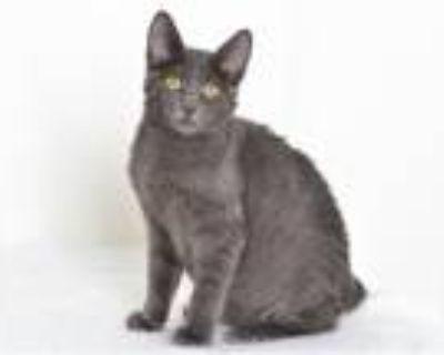 Adopt A591765 a Russian Blue, Domestic Short Hair