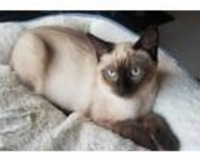 Adopt Ming a Cream or Ivory Siamese (short coat) cat in Lombard, IL (32140948)