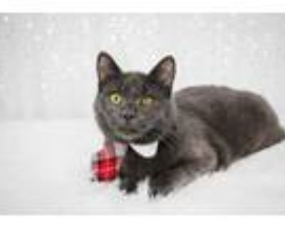 Adopt Yorke a Gray or Blue Domestic Shorthair (short coat) cat in Smyrna