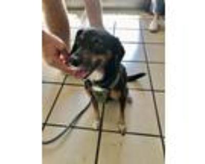 Adopt Dodger a Miniature Pinscher / Mixed Breed (Medium) / Mixed dog in Fort