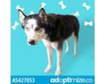 Adopt RANGER a Black - with White Husky / Mixed dog in Gardena, CA (31831934)