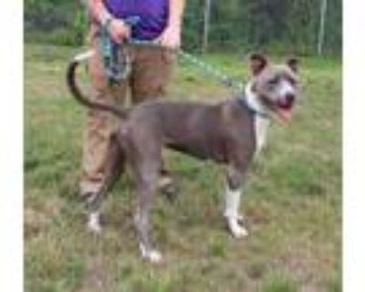 Adopt BOLT a Pit Bull Terrier