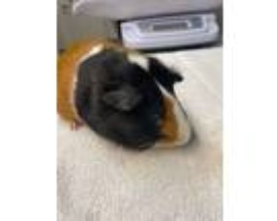 Adopt LENNY a Brown or Chocolate Guinea Pig (short coat) small animal in Tucson