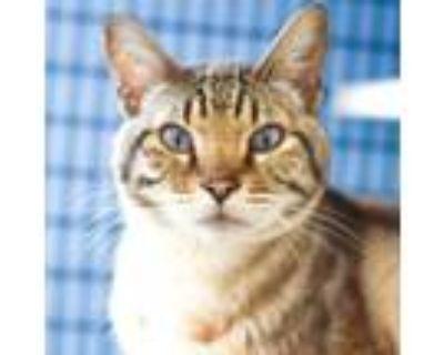 Adopt Raja a Domestic Short Hair, Siamese