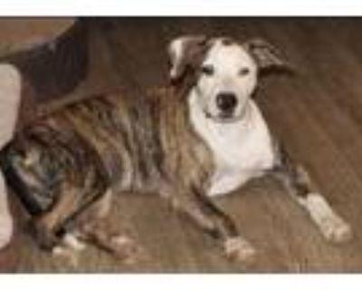 Adopt Mississippi Roxie a Labrador Retriever, Mountain Cur