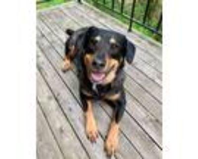 Adopt Beau a Australian Cattle Dog / Blue Heeler, Mixed Breed