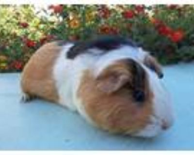 Adopt REESE a Black Guinea Pig / Mixed small animal in Van Nuys, CA (32138112)