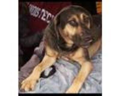Adopt Gus a Catahoula Leopard Dog, German Shepherd Dog