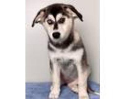 Adopt Rogue a Siberian Husky, Golden Retriever