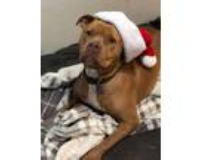 Adopt Leroy a American Staffordshire Terrier, Pit Bull Terrier