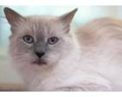 Adopt TAYLOR a Brown or Chocolate (Mostly) Balinese / Mixed (long coat) cat in