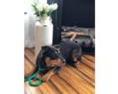 Adopt Addie a Brown/Chocolate - with Black Rottweiler / Mixed dog in Parker