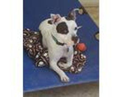 Georgie, Staffordshire Bull Terrier For Adoption In Colorado Springs, Colorado