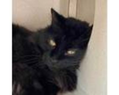 Adopt Spooky a All Black Domestic Longhair / Domestic Shorthair / Mixed cat in