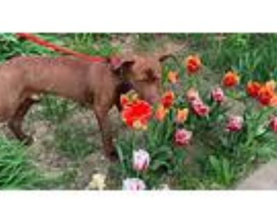 Copper Penny, American Pit Bull Terrier For Adoption In Germantown, Ohio
