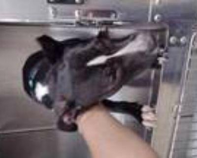 Adopt 47973677 a Black Labrador Retriever / Mixed dog in Fort Worth