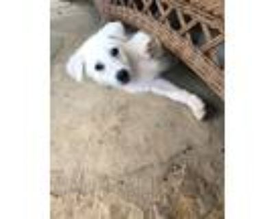 Adopt Jaeger a White Siberian Husky / Golden Retriever / Mixed dog in Roswell