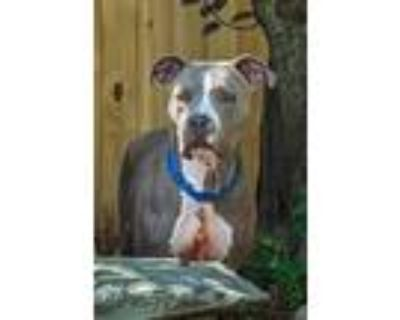 Adopt Rook a Pit Bull Terrier, Mixed Breed